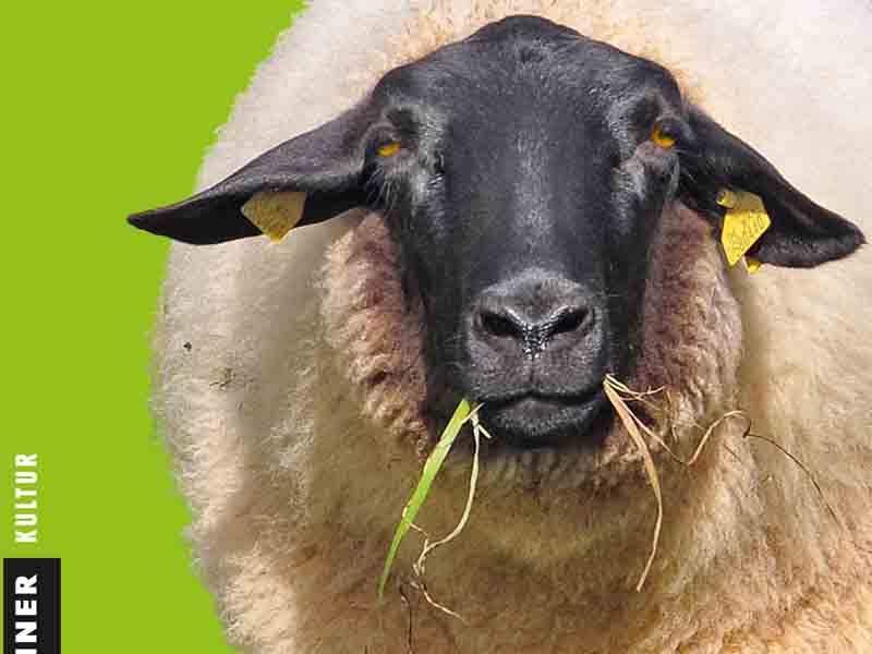 Rhoen Titel Schaf